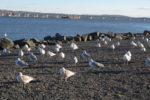Seagulls, Nyack, Memorial Park, Hudson River, waterfront