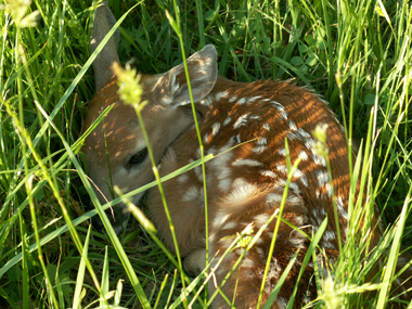 baby fawn young wildlife